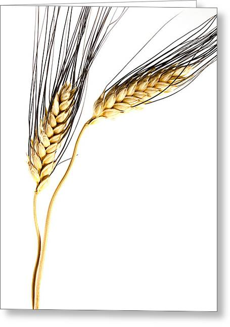 Wheat On White Greeting Card by Carol Leigh