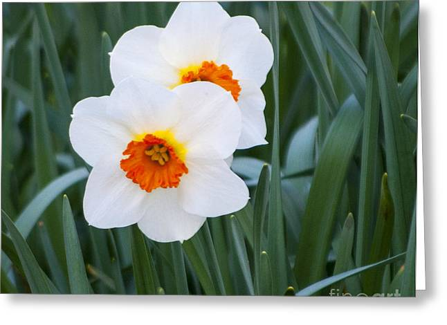 Garden Greeting Cards - White And Orange Daffodils Greeting Card by Mandy Judson