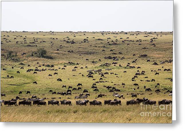White Beard Greeting Cards - White-bearded Wildebeest Migration Greeting Card by Greg Dimijian