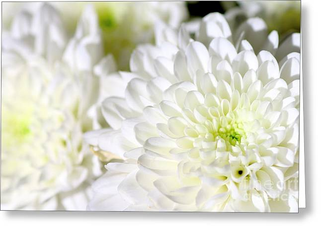 Close Focus Floral Greeting Cards - White Chrysanthemum flower Greeting Card by Gregory DUBUS