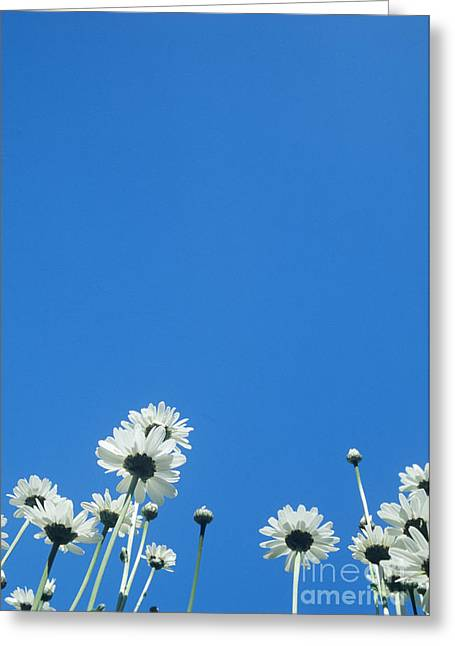 Bellis Greeting Cards - White Daisies Greeting Card by David Aubrey
