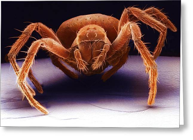 Scanning Electron Micrograph Greeting Cards - White Eyed Spider Greeting Card by David M. Phillips