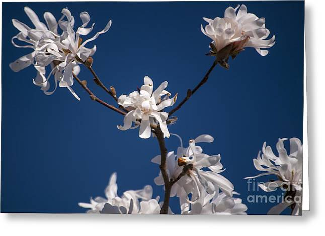 Silverton Greeting Cards - White Magnolia Greeting Card by Mandy Judson
