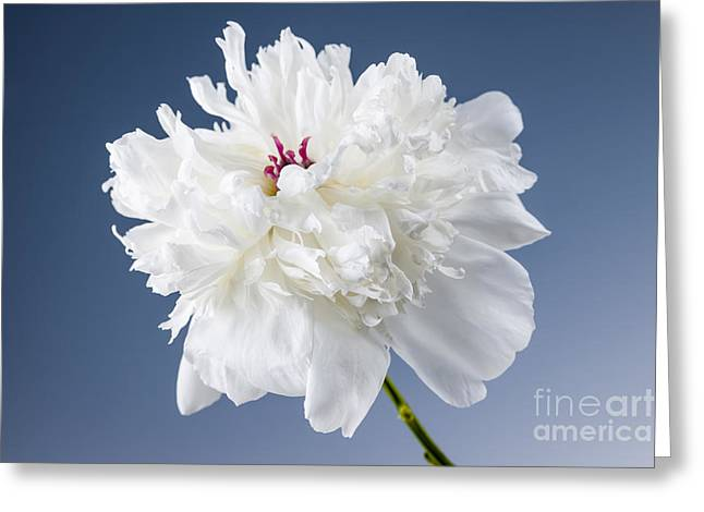 Blue Flowers Greeting Cards - White peony flower Greeting Card by Elena Elisseeva