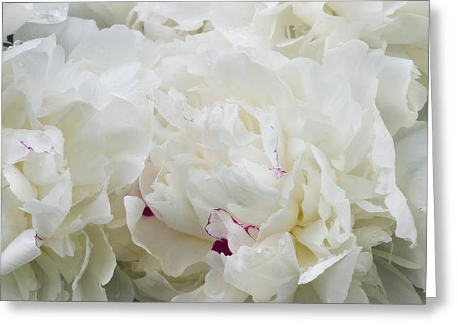 Ruffled Petals Greeting Cards - White Peony Flowers Greeting Card by Keith Webber Jr