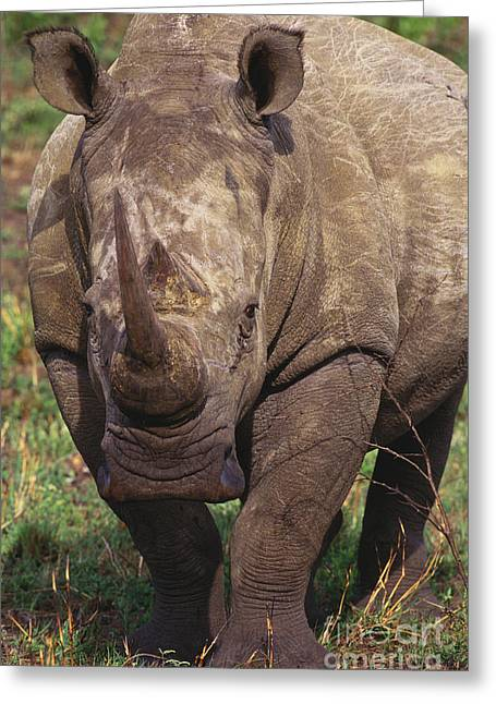 One Horned Rhino Greeting Cards - White Rhinoceros Greeting Card by Art Wolfe