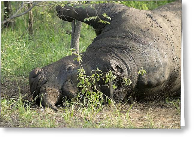 Rhinoceros Greeting Cards - White rhinoceros killed by poachers Greeting Card by Science Photo Library