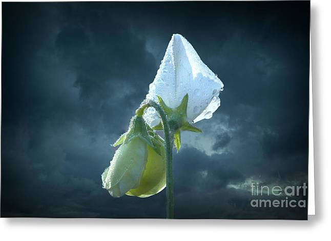 Rain Drop Mixed Media Greeting Cards - White Sweet Pea  Greeting Card by Marjorie Imbeau
