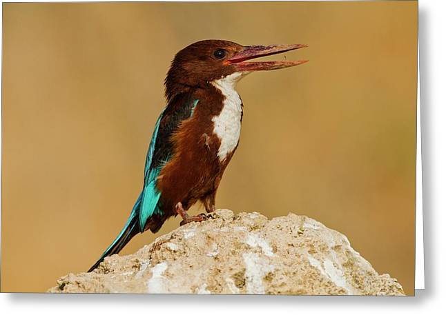 White-throated Kingfishe Greeting Card by Photostock-israel