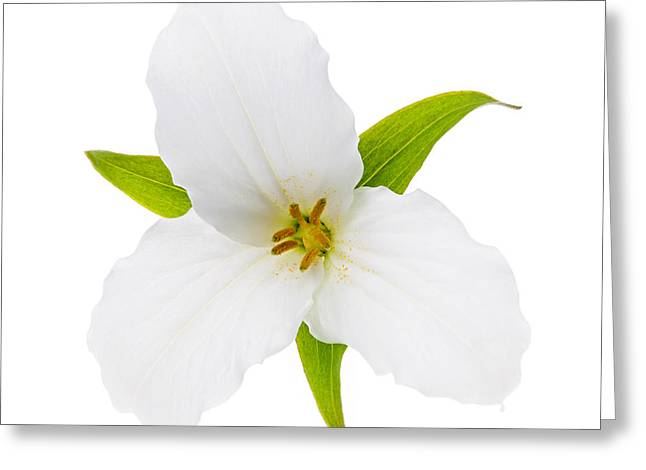 Square Format Greeting Cards - White Trillium flower  Greeting Card by Elena Elisseeva