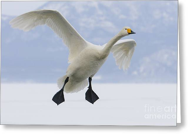 Asian Wildlife Greeting Cards - Whooper Swan Greeting Card by John Shaw