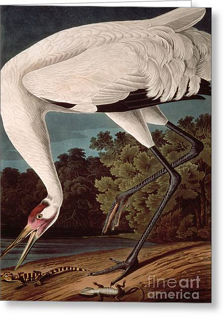 Crane Greeting Cards - Whooping Crane Greeting Card by John James Audubon
