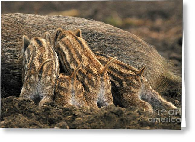 Piglets Greeting Cards - Wild Boar And Piglets Greeting Card by Reiner Bernhardt