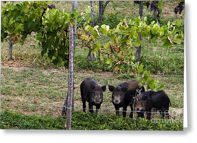 Wild Boar Greeting Cards - Wild Boar, Italy Greeting Card by Tim Holt