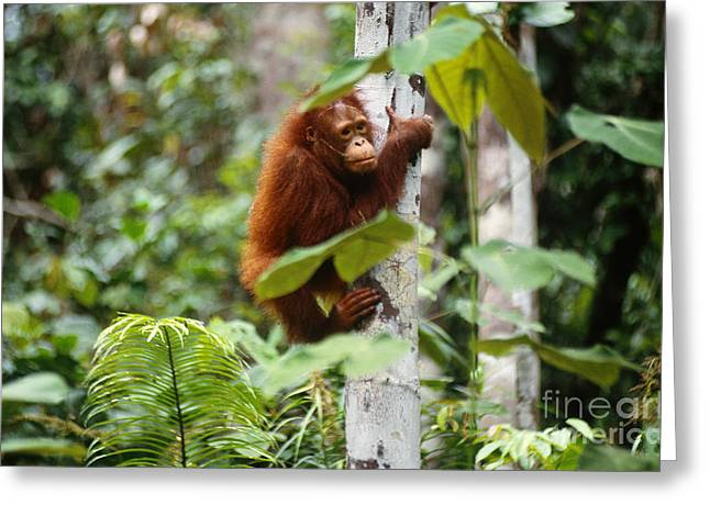 Ape Photographs Greeting Cards - Wild Orangutan Greeting Card by Art Wolfe