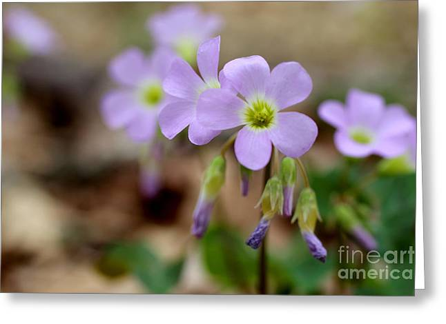 Sour Greeting Cards - Wild Violet Wood Sorrel Greeting Card by Adam Long