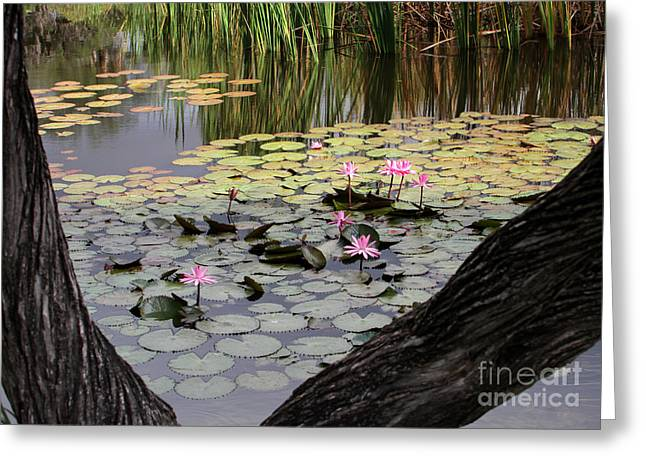 Hawaiian Pond Greeting Cards - Wild Water Lilies in the River Greeting Card by Sabrina L Ryan