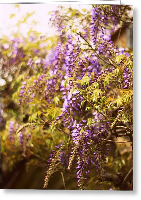 Wisteria Greeting Cards - Wild Wisteria Greeting Card by Jessica Jenney