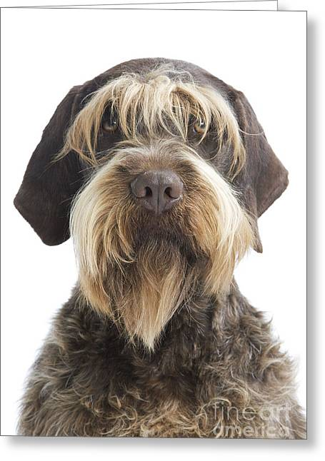 Hairy Dog Greeting Cards - Wire-haired Pointing Griffon Greeting Card by Jean-Michel Labat