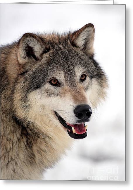 Wolf Face Greeting Cards - Wolf In Winter Greeting Card by Sohns/Okapia