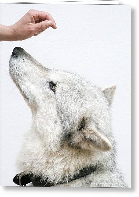 Nature Study Greeting Cards - Wolf Research Greeting Card by Louise Murray