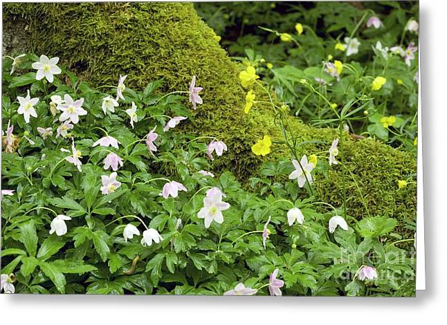 Wood Anemones Anemone Nemorosa Greeting Card by Bob Gibbons