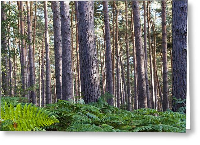 Guise Greeting Cards - Woods Greeting Card by David Isaacson