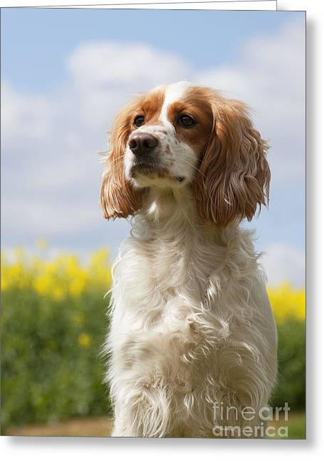 Working Dog Greeting Cards - Working Cocker Spaniel Greeting Card by John Daniels
