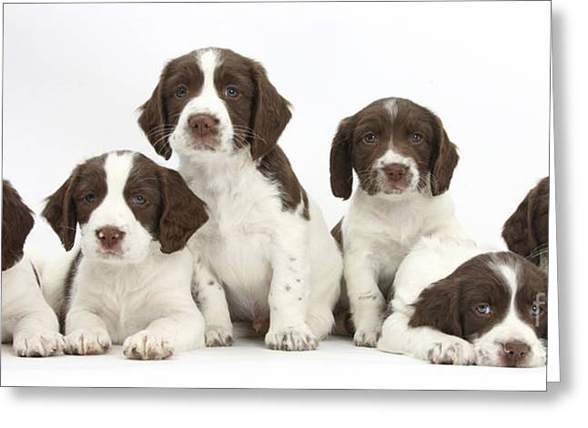 Recently Sold -  - Working Dog Greeting Cards - Working English Springer Spaniel Puppies Greeting Card by Mark Taylor