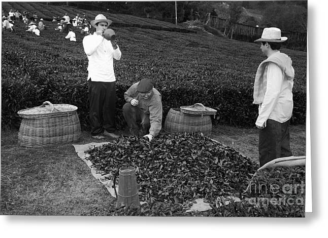 Azores Greeting Cards - Working in the tea gardens Greeting Card by Gaspar Avila
