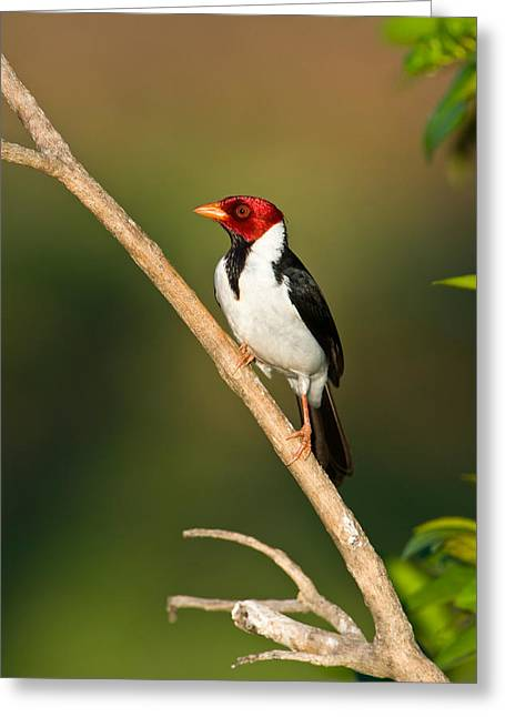 Cardinals. Wildlife. Nature. Photography Greeting Cards - Yellow-billed Cardinal Paroaria Greeting Card by Panoramic Images