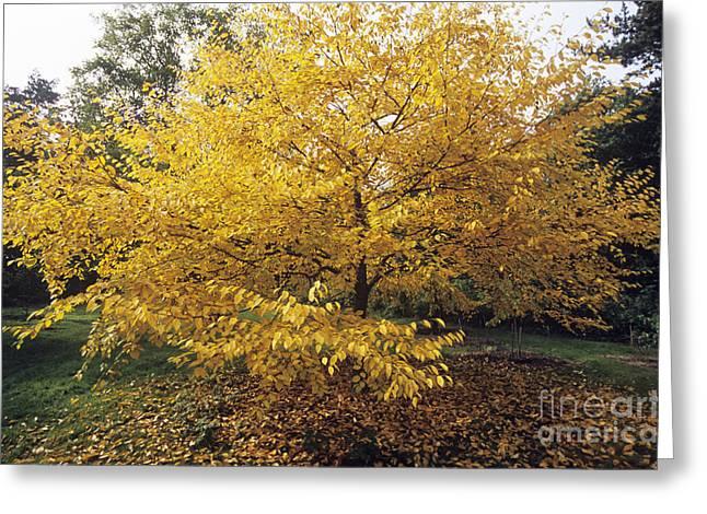 Carotene Greeting Cards - Yellow Birch Betula Alleghaniensis Greeting Card by Adrian Thomas