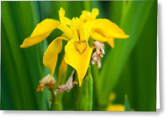 Yellow Flag Iris Greeting Card by Matt Dobson
