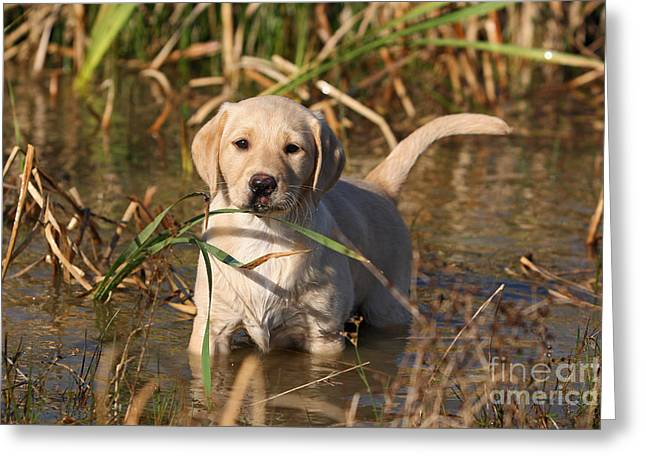 Dog Play Sea Greeting Cards - Yellow Labrador Retriever puppy standing in water Greeting Card by Dog Photos