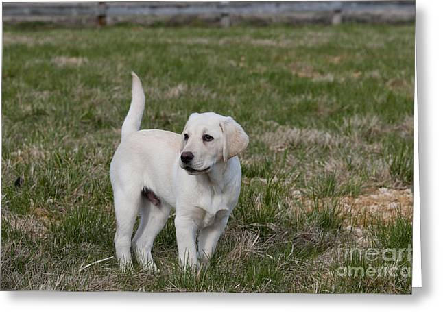 White Lab Greeting Cards - Yellow Labrador Retriever Puppy Greeting Card by William H. Mullins