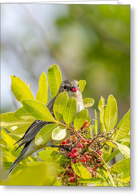 Winter Migrants Greeting Cards - Yellow-Rumped Warbler Greeting Card by Debra Martz