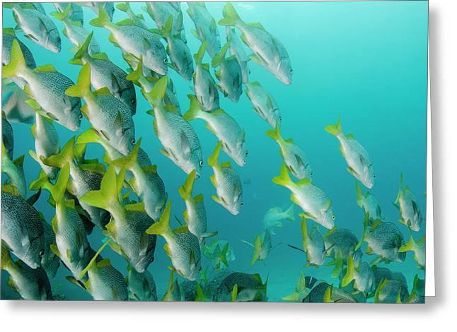 Yellowtail Grunt (anisotremus Greeting Card by Pete Oxford