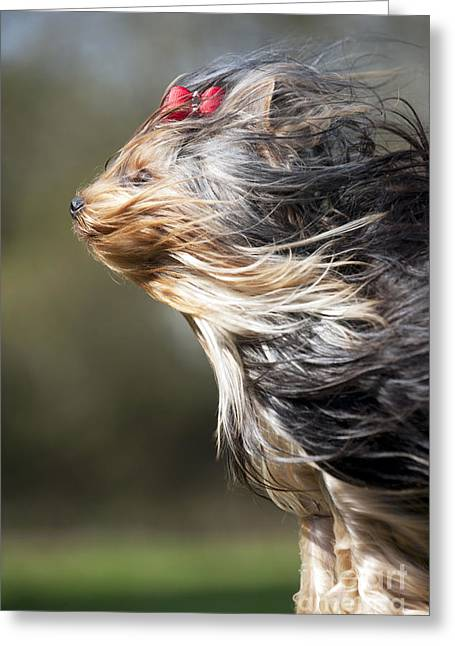 Breezy Greeting Cards - Yorkshire Terrier Greeting Card by John Daniels
