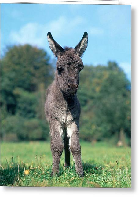 Jackass Foal Greeting Cards - Young Donkey Greeting Card by Hans Reinhard