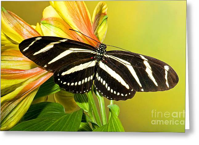Florida Flowers Greeting Cards - Zebra Longwing Butterfly Greeting Card by Millard H. Sharp