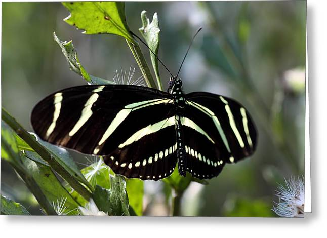 Zebra Eating Greeting Cards - Zebra longwing Butterfly-4 Greeting Card by Rudy Umans