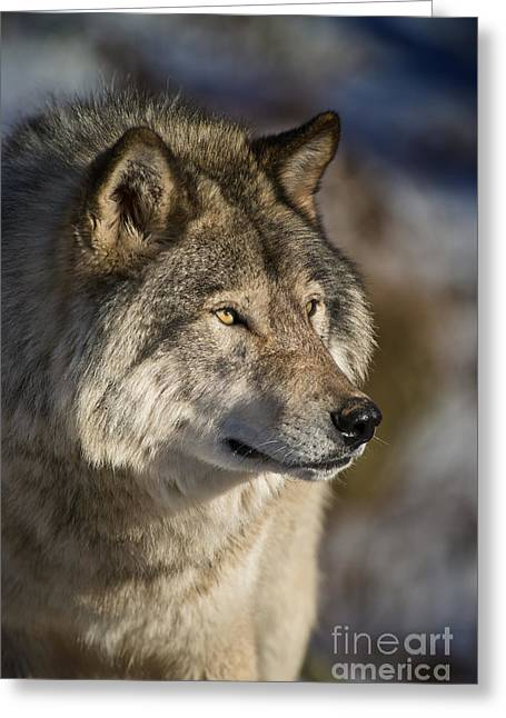 Michael Cummings Greeting Cards - Timber Wolf Pictures Greeting Card by Michael Cummings