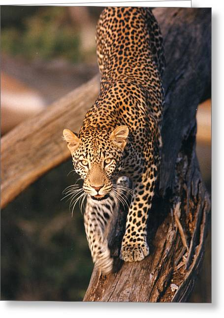 Golden Leopard Greeting Cards - 2012 Leopard Climbing Down Tree Greeting Card by Chris Maher