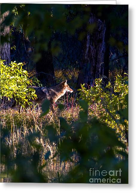 Preditor Greeting Cards - 2013 Oct Coyote on the Move Greeting Card by Rick Grisolano Photography LLC