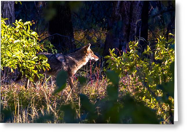 2013 Oct Coyote on the Move Greeting Card by Rick Grisolano Photography LLC