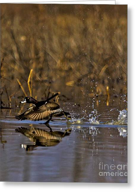 Swans... Greeting Cards - 2014 March Ring Necked Duck No 2 Greeting Card by Rick Grisolano Photography LLC