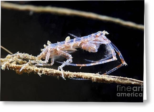 Plankton Greeting Cards - Amphipod Crustacean Greeting Card by Alexander Semenov