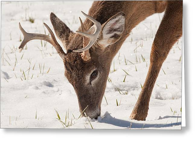 Grazing Snow Greeting Cards - Whitetail Winter Greeting Card by Doug McPherson