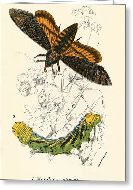 Entomological Greeting Cards - Butterflies Greeting Card by English School
