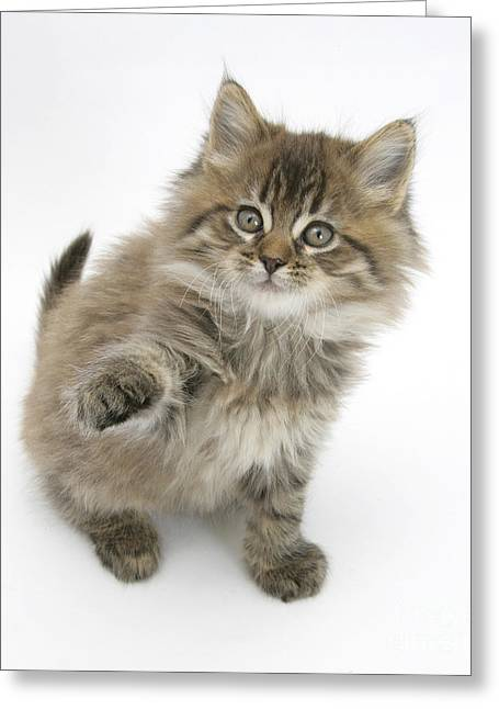 Maine Coon Greeting Cards - Maine Coon Kitten Greeting Card by Mark Taylor